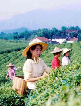 Zber čajových lístkov v provincii Zhejiang